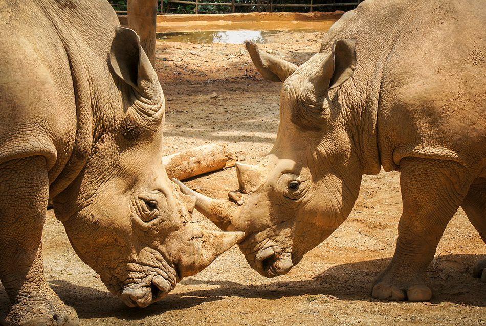 game-drive-rhinoceros