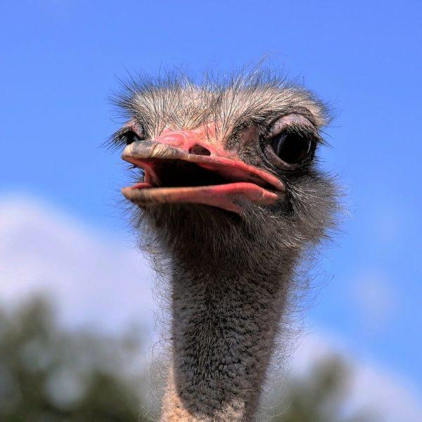 ostrich-garden-route