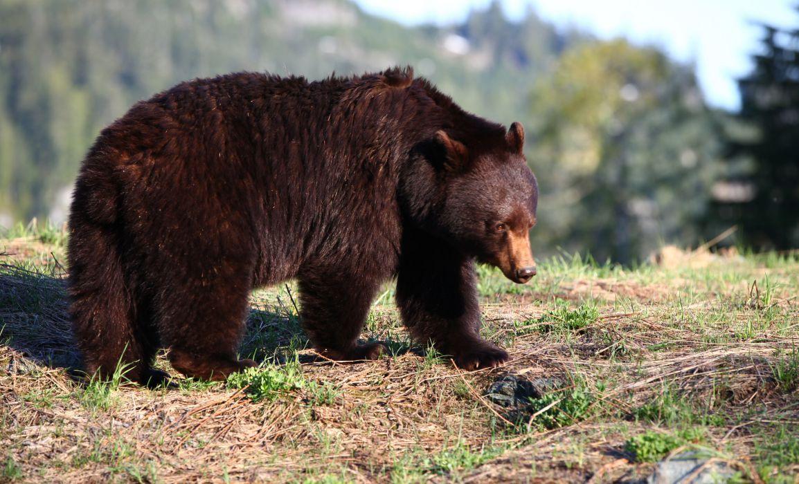 whistler-black-bear