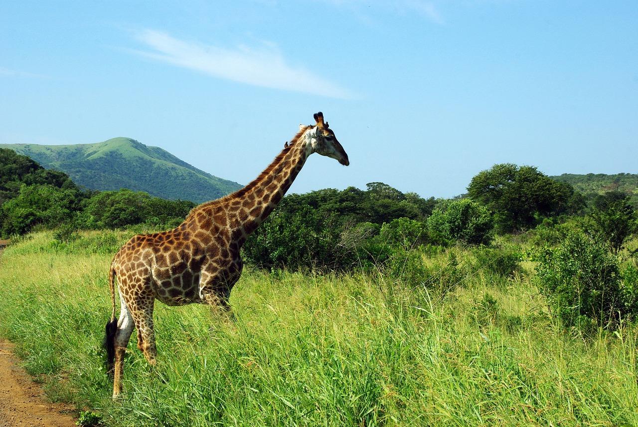 giraffe-kruger-park-049