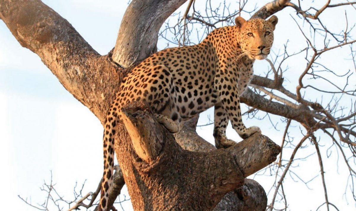 leopard-kruger-park-045